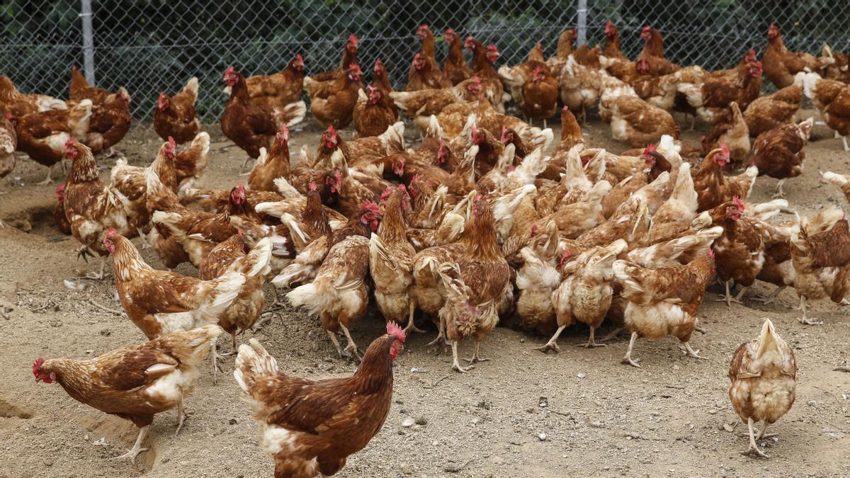 Bruselas abre la puerta para acabar con las jaulas de animales en las granjas