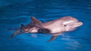 La delfina Anak, en el 2012, con una de sus crías.