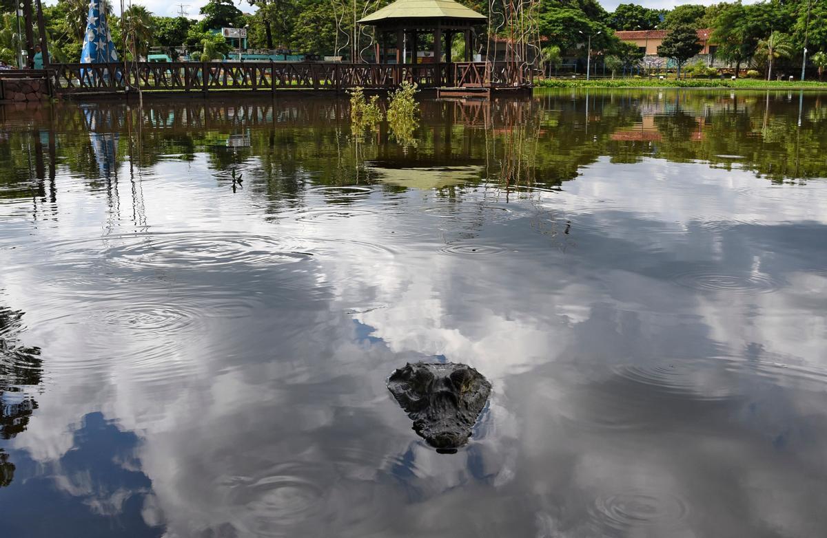 Un caiman, junto al centro comercial de Itá.