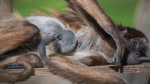 Emi, con su cría pegada a su cuerpo, en el Zoo de Barcelona