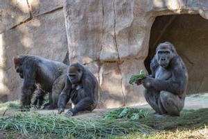 Goril·les del Zoològic de San Diego es contagien de Covid-19