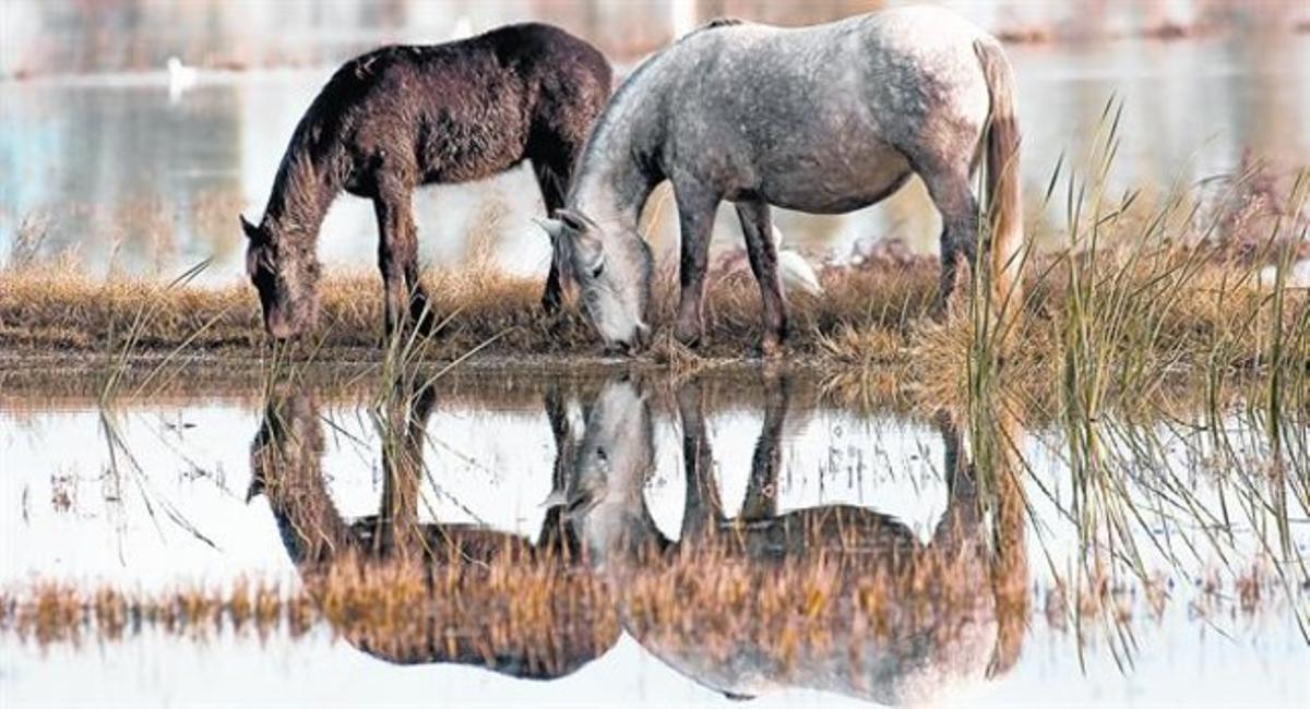 Dos caballos de la Camarga y una garcilla bueyera beben agua apaciblemente en un arrozal del delta del Ebre.