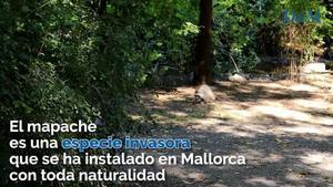 En busca de los mapaches de Mallorca