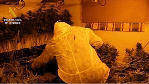 Imagen de la Guardia Civil sobre la incautación de una plantación de marihuana en Granada vinculada a Los Mindolos.