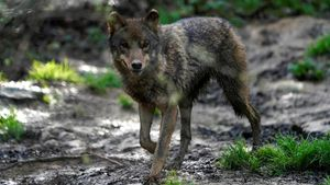 Un lobo en el refugio de fauna silvestre amenazada de Basondo, en Bizcaia.
