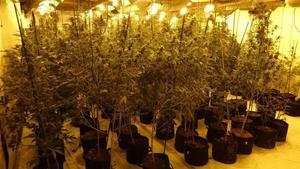 Los Mossos hallaron 1.200 plantas de marihuana ocultas en una nave en Gimenells (Alt Camp)