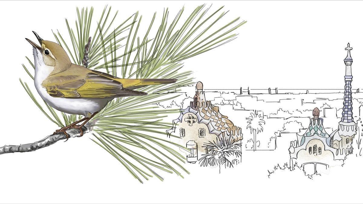 MOSQUITERO PAPIALBO. Especie todavía escasa pero en expansión. Las principales poblaciones se sitúan en Collserola y jardines de barrios cercanos, como el Parc Güell, Tres Turons y Putxet. Unas 320 parejas.
