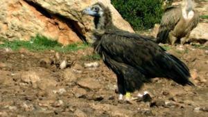 'Modesto', fotografiado en un punto de alimentación de rapaces necrófagas del Pirineo.