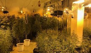 Plantación de marihuana decomisada en otra operación policial.