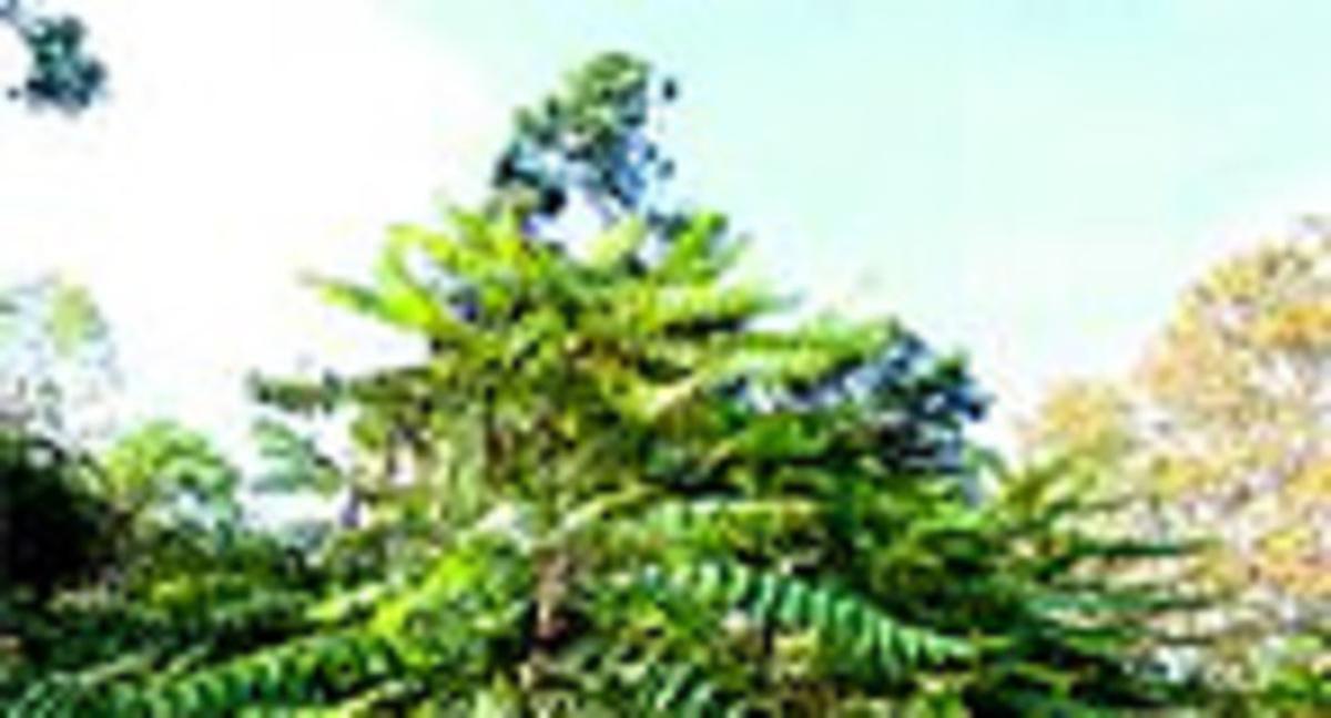 Un ailanto de Collserola, con sus típicas hojas compuestas.