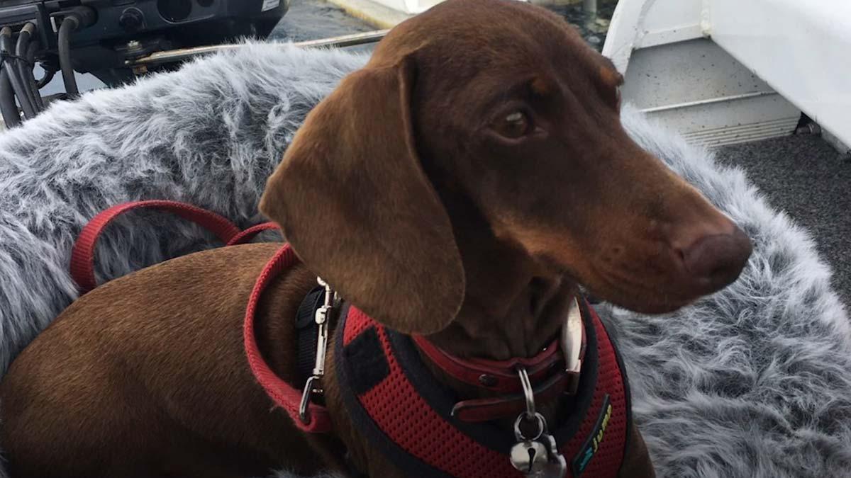 La aventura de Pip, el perro que tuvo que cruzar el mundo para volver con su familia.