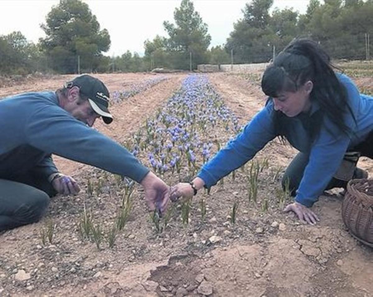 Parcelas pequeñas 8 Cultivo de las flores del azafrán en un campo de Les Garrigues.