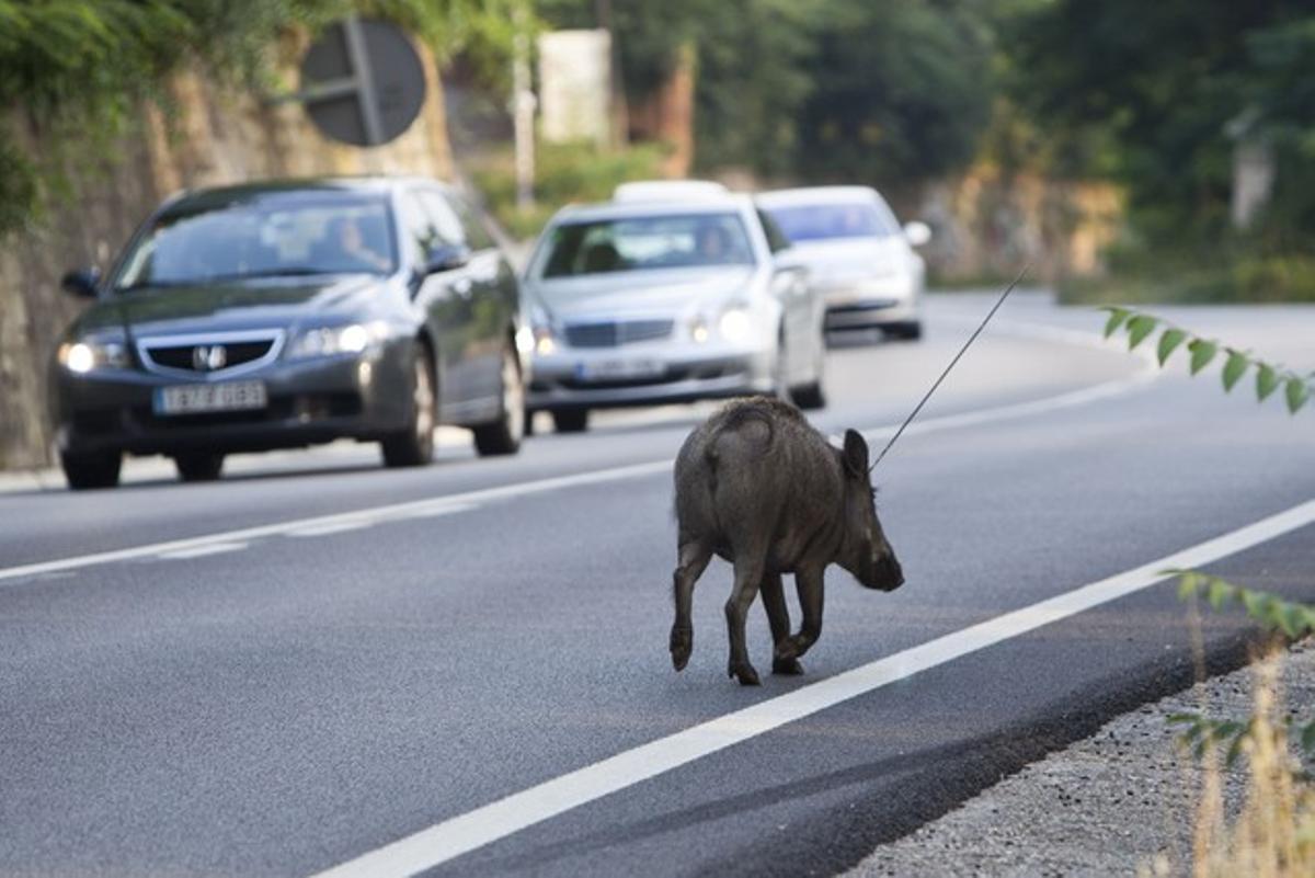 Un jabalí pasea a sus anhcas por la carretera de Collserola que une Barcelona y Sant Cugat.