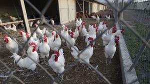 La Influenza Aviar es enfermedad vírica altamente contagiosa que afecta tanto a las aves domésticas como a las aves silvestres.