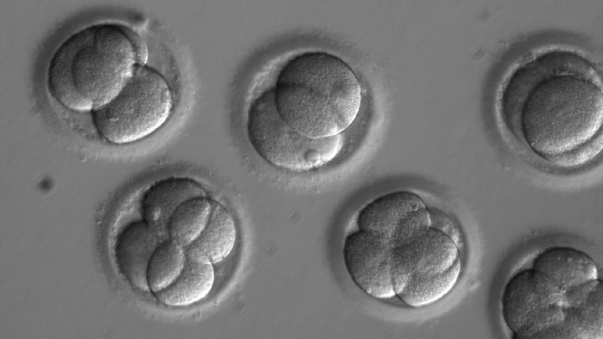 Embriones investigados en el Instituto Salk, de California.
