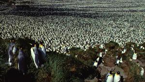 Colonia de pingüino rey en la Isla de los Cerdos.