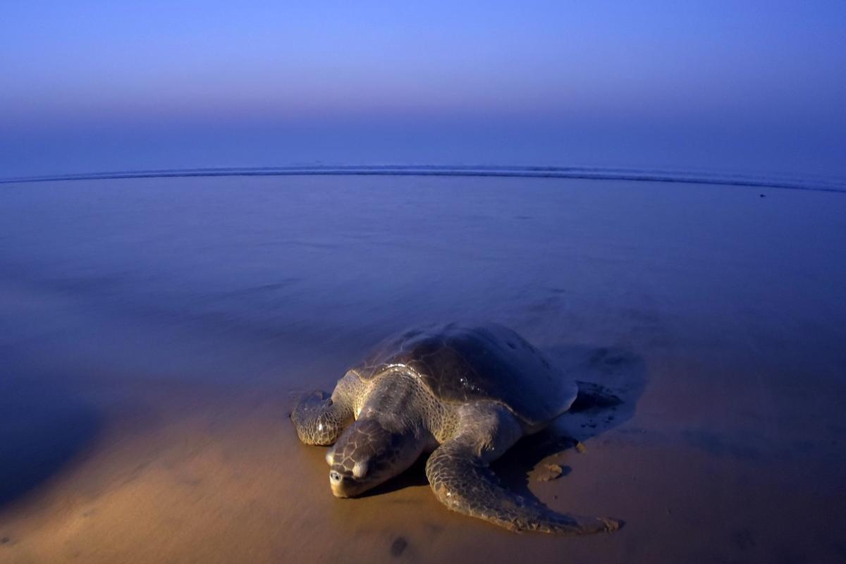 Una tortuga olivácea o golfina, la más pequeña de las tortugas marinas, en la playa india de Rushikulya, este jueves.