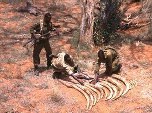 Preciado marfil 8Guardias kenianos recogen colmillos de 10 elefantes abatidos por cazadores furtivos.