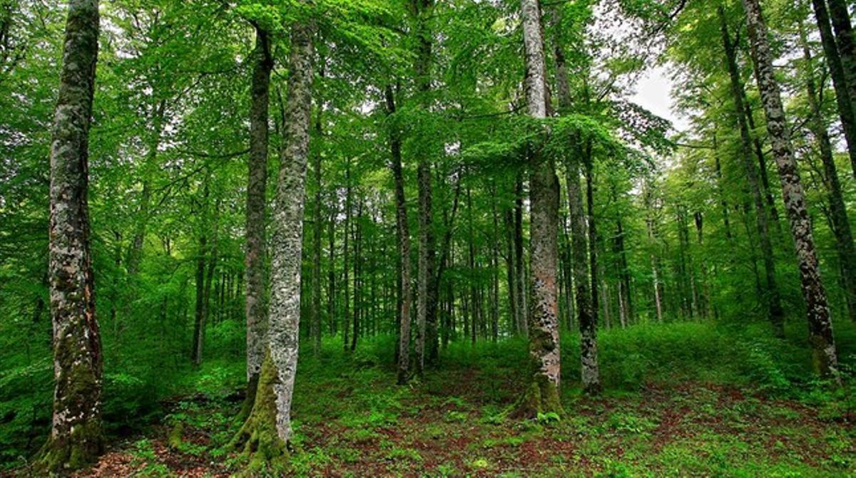 El bosque de Irati, en Navarra, uno de los hayedos mejor consevados de la Península.