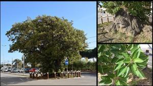 La ballasombra o 'arbre verd' de Pineda de Mar.