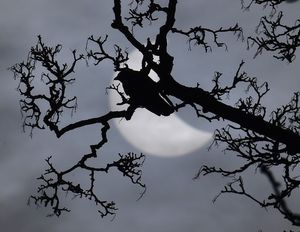 Un ocell en una branca, davant l'eclipsi parcial de Sol.