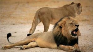 Cecil, el lleó més famós de Zimbàbue.