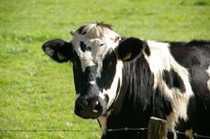 El Tinder de las vacas: así ligan a través de una aplicación