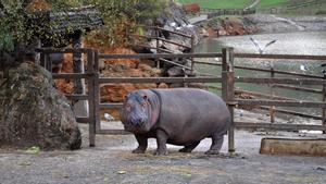 Un ejemplar de hipopótamo del parque cántabro de Cabárceno.