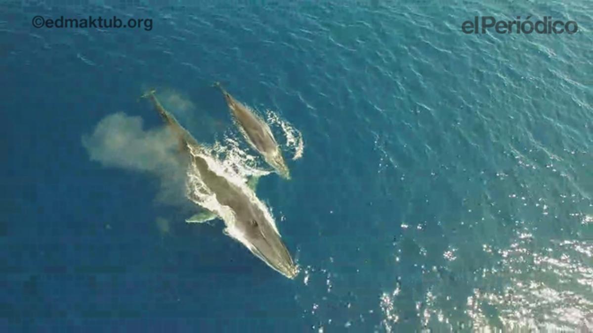La ballena y su cría, en la costa del Garraf, el pasado 24 de abril.