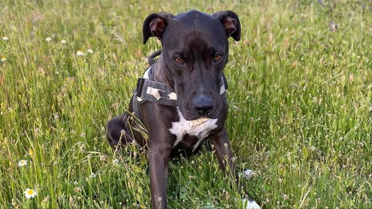 Brutus, el perro perdido durante la explosión en la calle Toledo de Madrid el pasado 20 de enero de 2021.