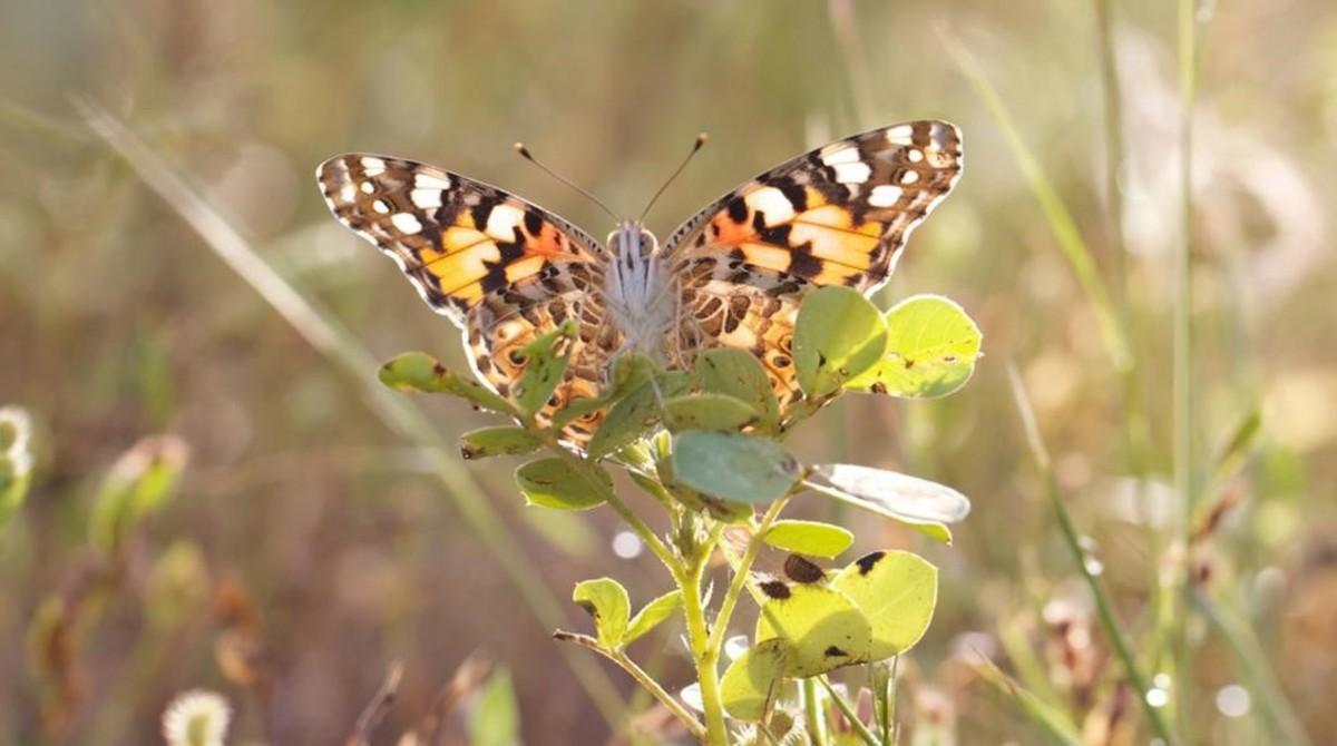 Un ejemplar de la mariposa cardera o 'Vanessa cardui' en Benín.