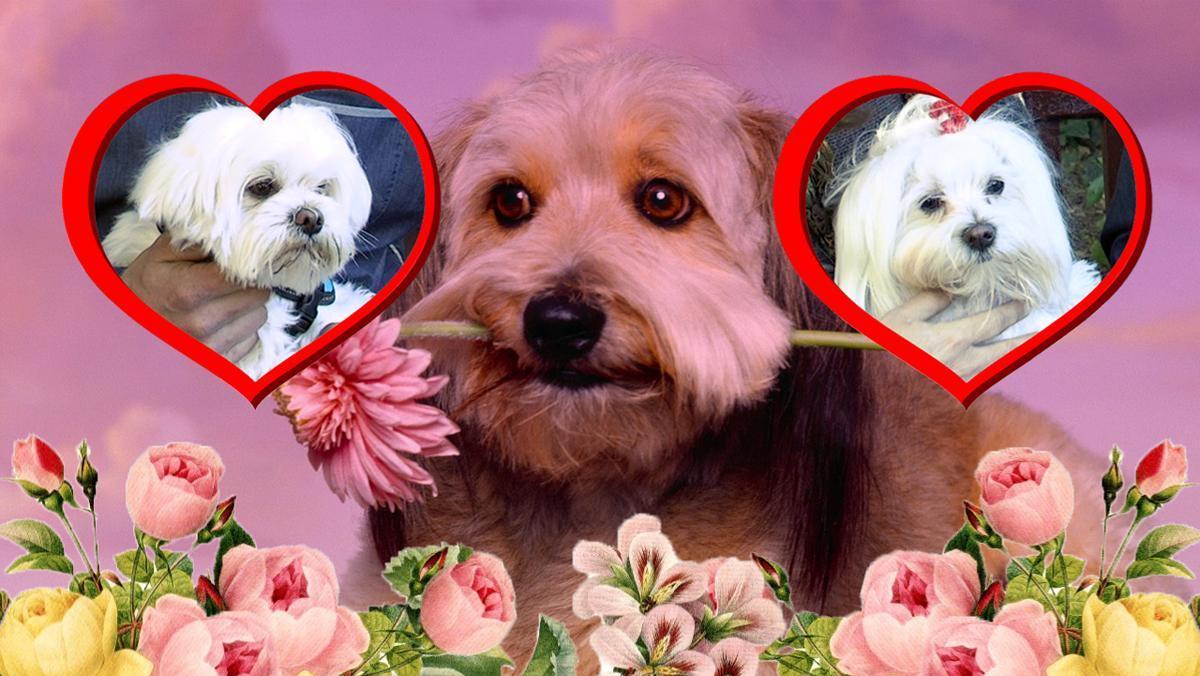 Bimba y Dutty, los perros blancos de este vídeo,se conocieronvía app: Social Animalsuna nueva red social busca pareja, paramascotas.