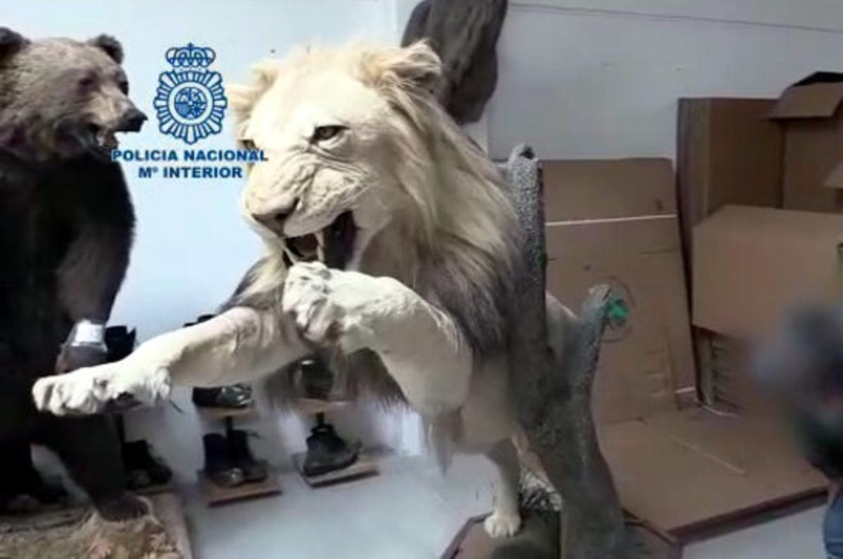 Cae una supuesta red que explotaba a personas y acumulaba piezas disecadas de animales en Gavà