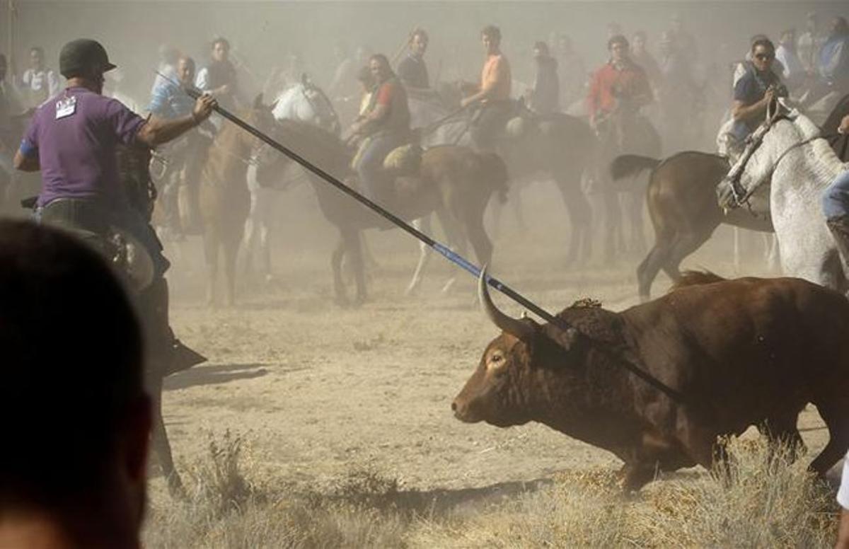 El toro de la vega acosado por los lanceros en Tordesillas.