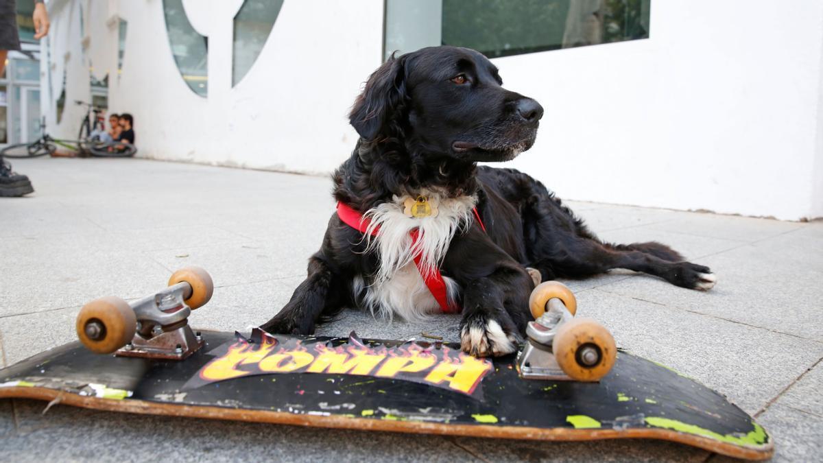 Así patina Compa, el perro skater de Barcelona.
