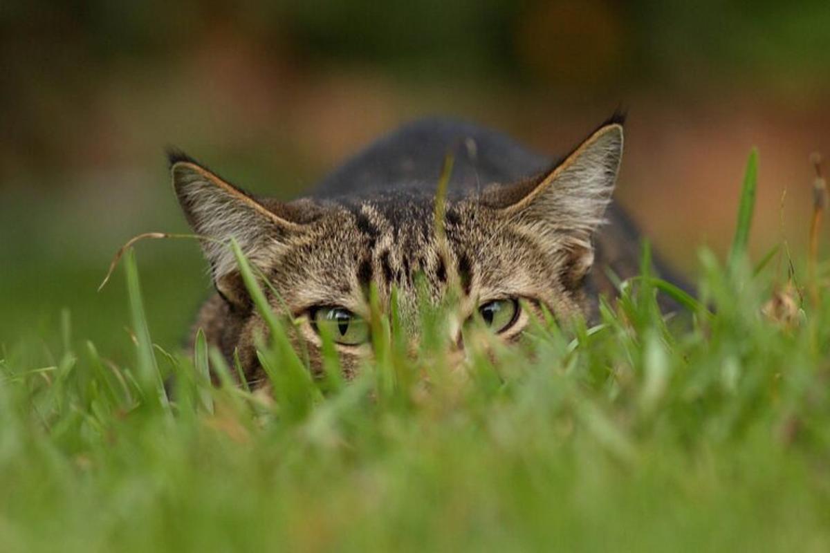 «Los gatos pueden llegar a cazar 70 especies de animales silvestres»