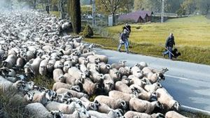 Jornada de transhumància amb ovelles a Olost (Osona) per reivindicar el dret al pas dels ramats.