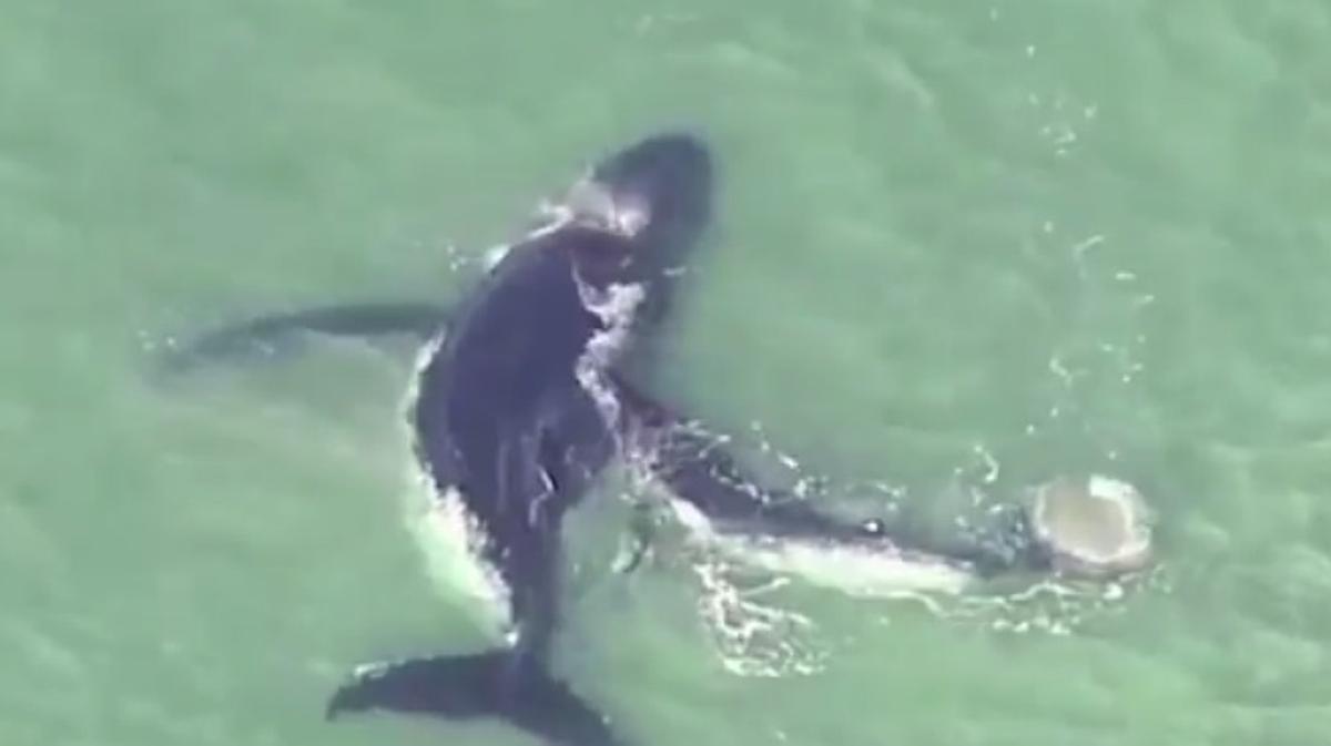 Una cría de ballena ayuda a su madre, que quedó atrapada en un banco de arena, en Australia.