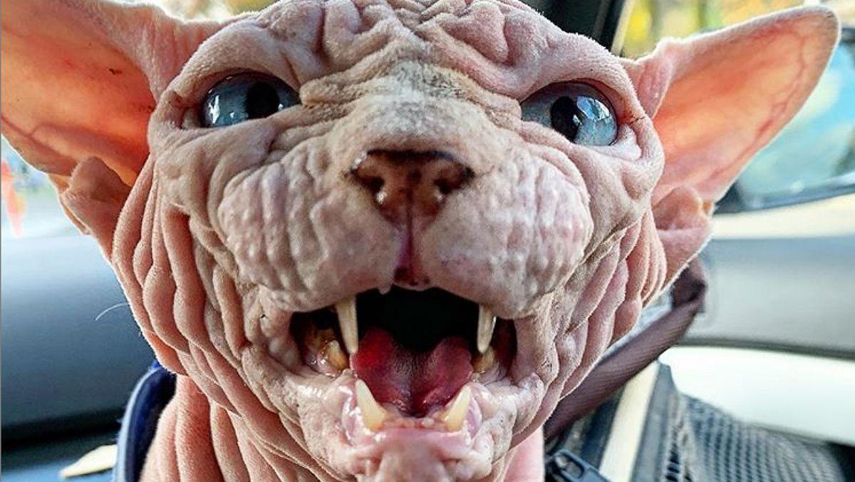 Xerdhan, el gatete más arrugado y aterrador de Instagram