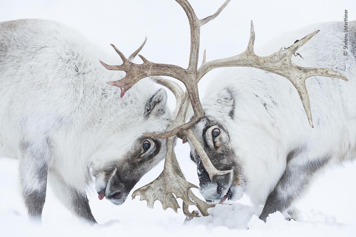 Wildlife Photographer of the Year / Stefano Unterthiner / Premio en la categoría de comportamiento de los mamíferos.