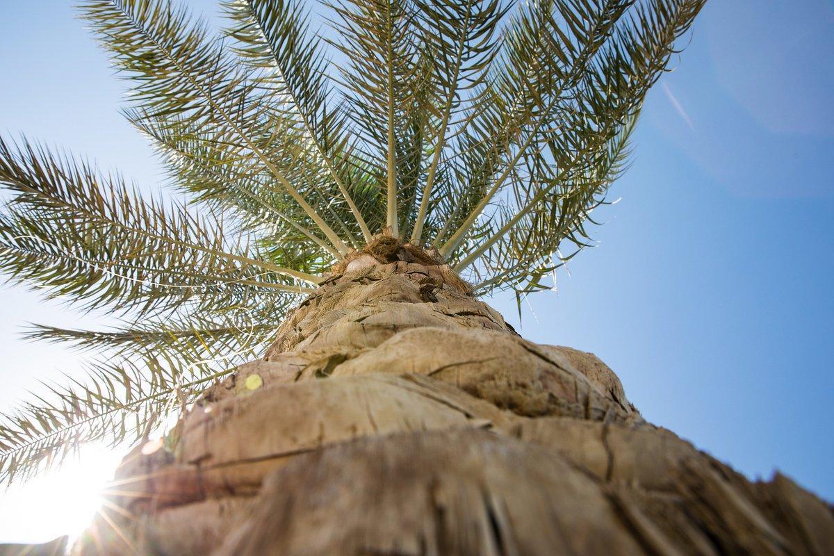 Viladecans inicia un tratamiento preventivo contra el picudo de la palmera