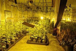 Desmantellen una plantació de marihuana amb més de 400 plantes a l'Hospitalet