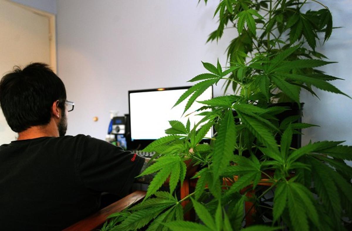Una planta de marihuana en una vivienda de Montevideo.