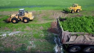 Maquinaria pesada retira las algas de la playa en Quingdao (China).