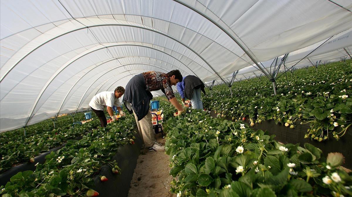 Invernaderos en los que se efectúa la recogida de la fresa, en Huelva.