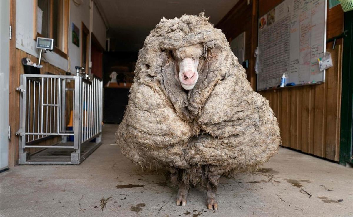 La oveja Baarack.