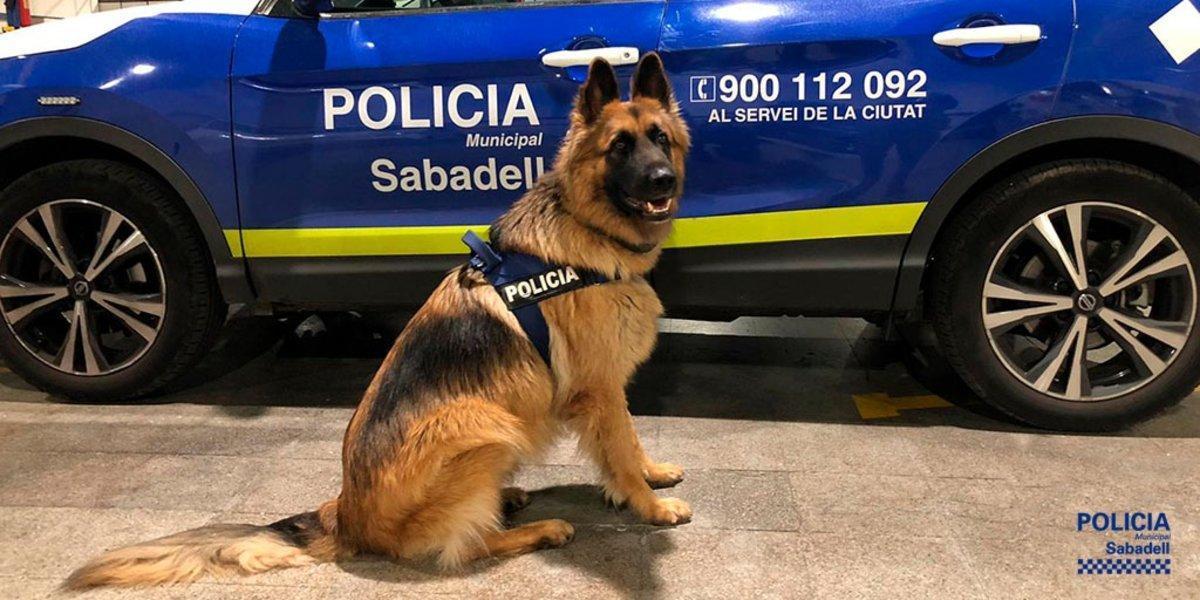 Danko, un perro policía de Sabadell, facilita la detención de un joven