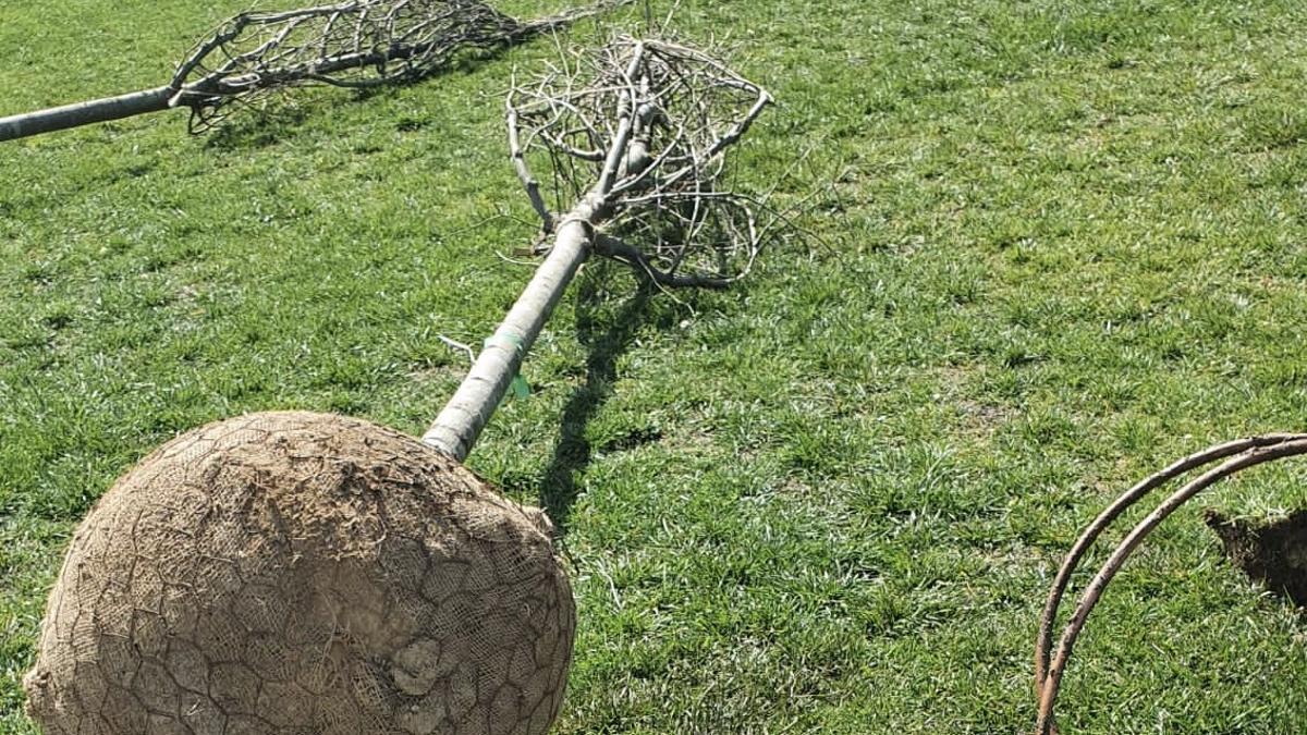 Uno de los nuevos árboles preparado para ser replantado