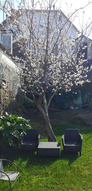 Ciruelos en flor en en las Rías Baixas
