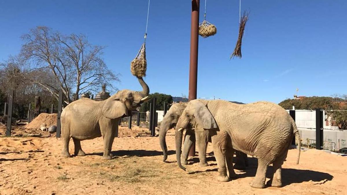 Allibereu l'elefanta Susi, però ¿de qui?